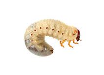 insectenlarve