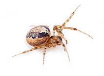 spin bestrijden determinatietabel