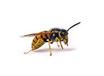 wesp wespenbestrijding wespennest determinatietabel
