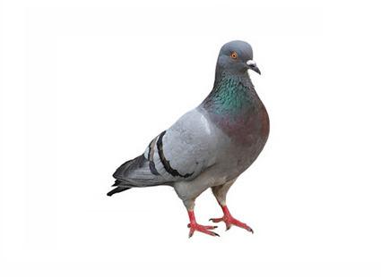 Duiven verjagen bestrijding duivenwering