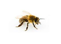 Bijen bestrijden bijennest