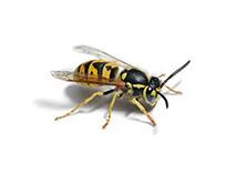 Graafwespen bestrijden wespennest wespenbestrijding