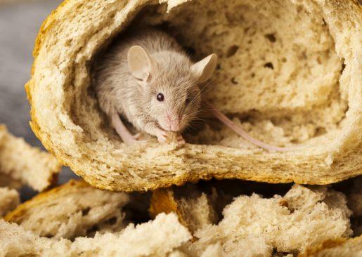 Huismuizen bestrijden attack muizenbestrijding