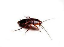 Kakkerlakken bestrijden Kruipende insecten ongediertebestrijding