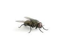 Klustervliegen bestrijden vliegende insecten