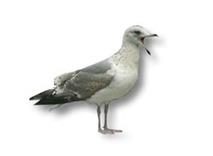 Meeuwen weren bestrijden vogelwering