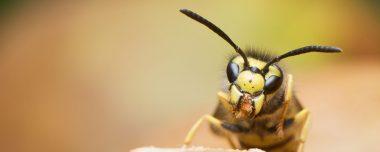 bestrijden van wespen