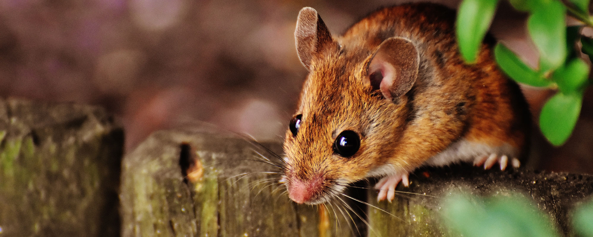 Muizen ongedierte Huismuizen bestrijden