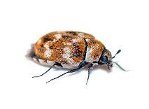 Tapijtkevers bestrijden Kruipende insecten