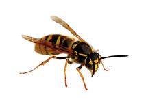 Wespenbestrijding dierplaagbeheersing