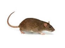 Bruine Rat bestrijden knaagdieren