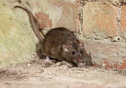 Bruine Rat rattenbestrijding