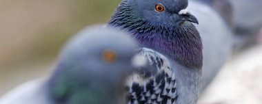 Vogelwering Duiven verjagen