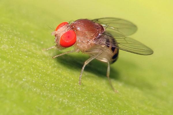Fruitvliegen insectenwering