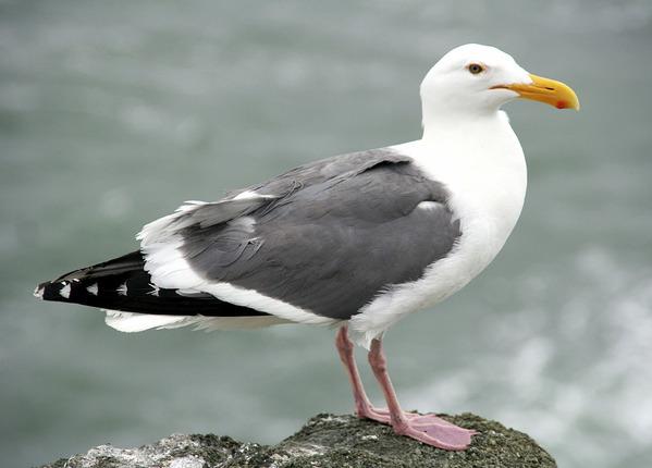 Meeuwen bestrijden vogelwering