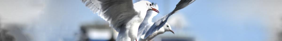 Vogelwering meeuwen verjagen