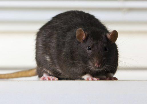 Zwarte Rat rattenbestrijding