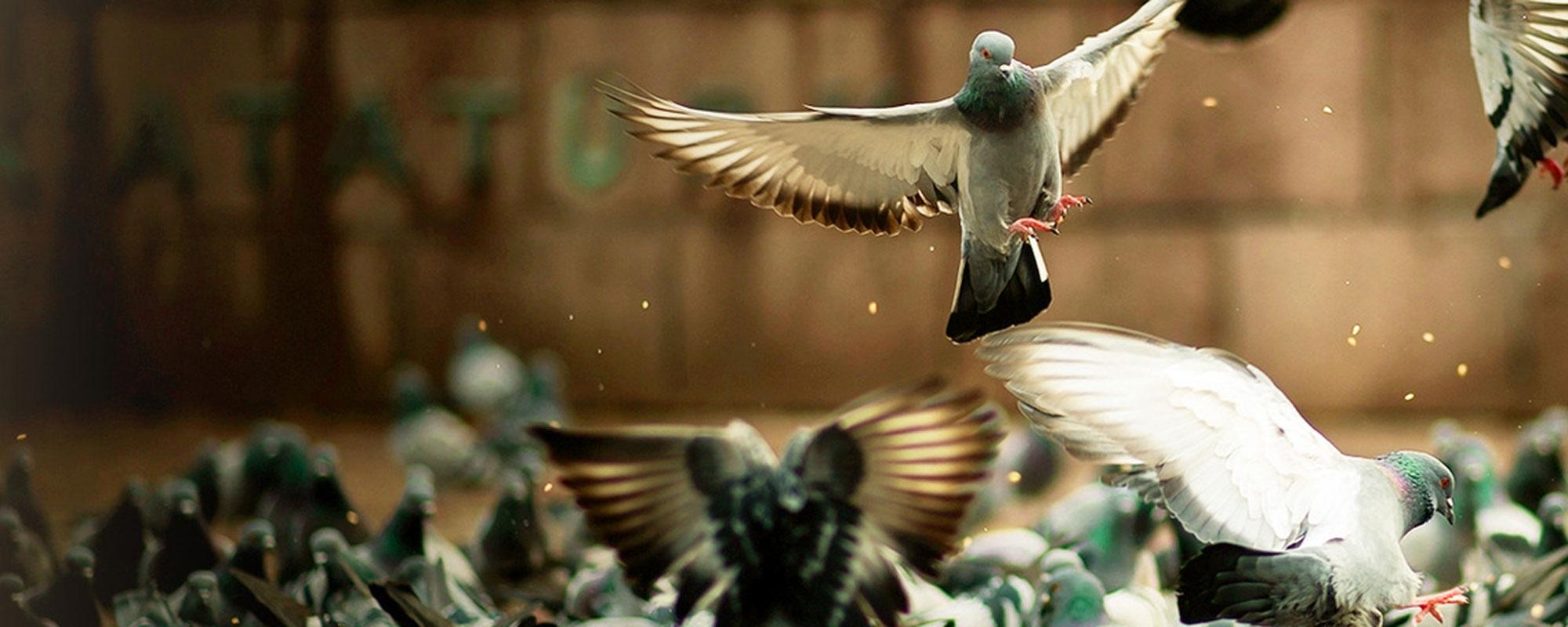 duivenwering attack vogels