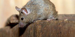 huismuis voorbeeld muizenplaag Friesland