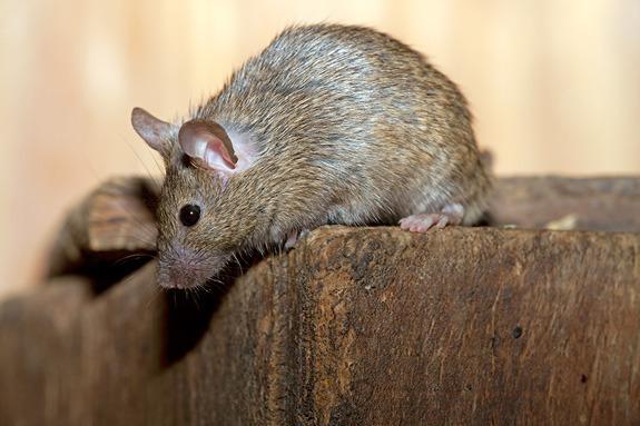 huismuis voorbeeld muizenplaag muizenverdelger