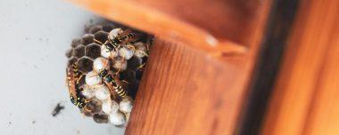 Wespennest bestrijden wespennest verwijderen