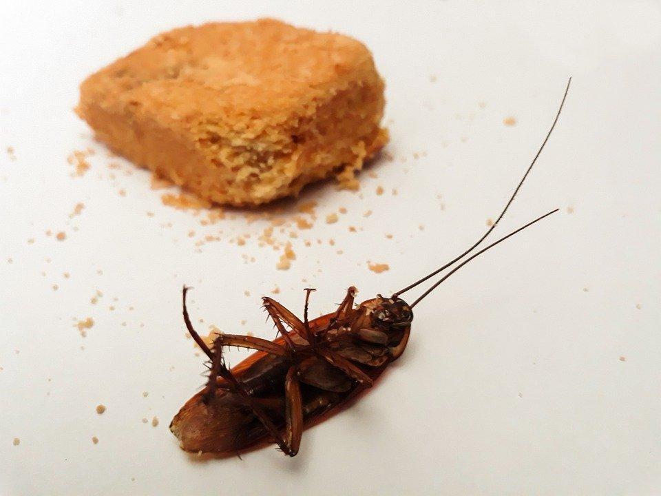 Kakkerlakken bestrijding ongediertebestrijding