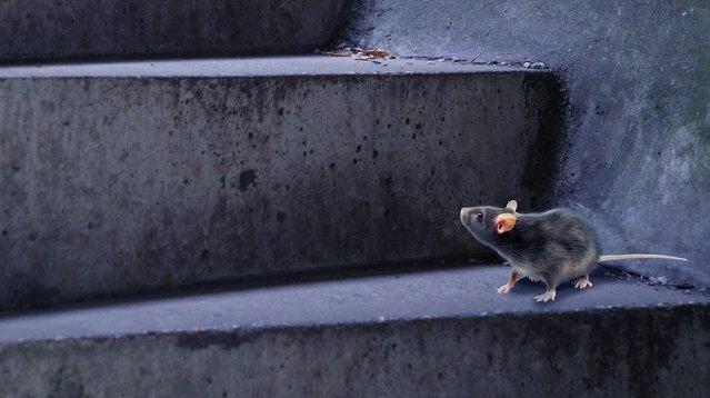 rat op trap