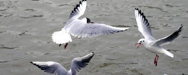 Meeuwen verjagen vogelwering overlast