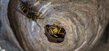 Wespennest verwijderen wespenbestrijding alkmaar