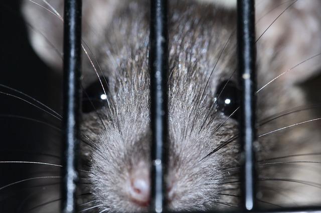 Zwarte rat in Nederland
