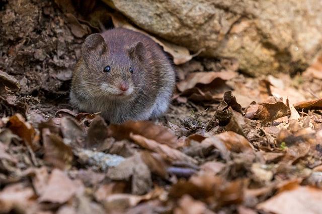 Bruine rat in tuin buiten