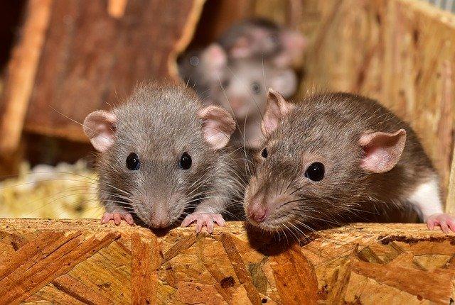 Ongediertebestrijding Tilburg muizen bestrijden