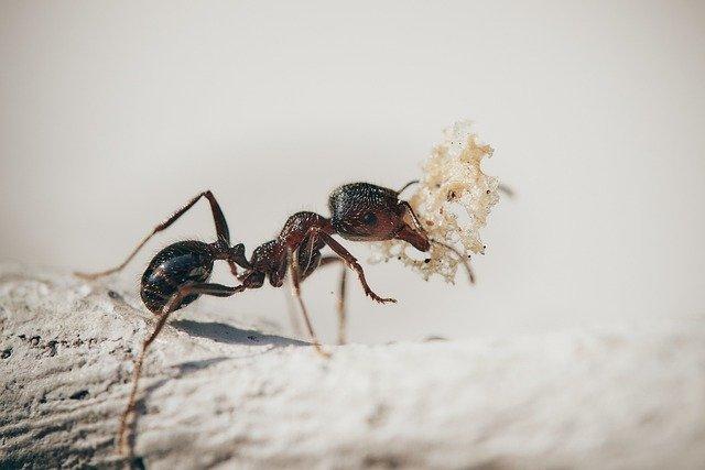 Mieren bestrijden in huis mierenplaag