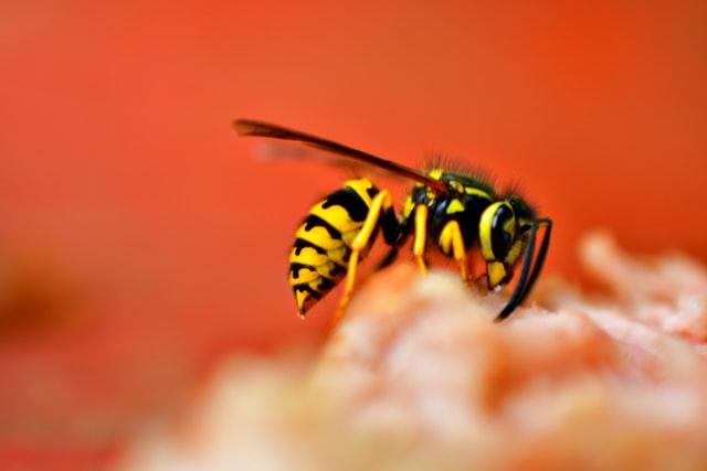 wespenbestrijding den helder